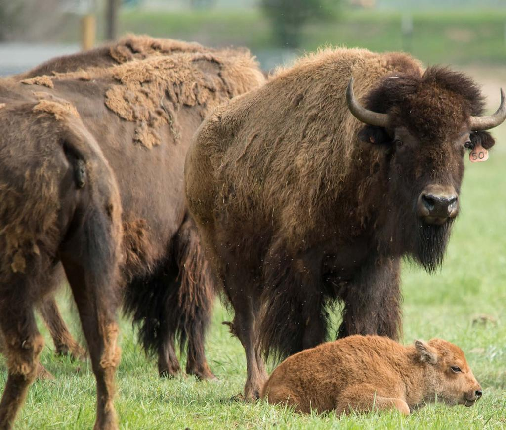Named for a mountain ridgeline that spans northern Colorado and southern Wyoming, the Laramie Foothills Bison Conservation Herd takes its place on the prairie Nov. 1, 2015.