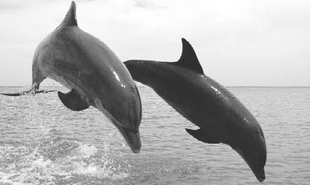 17 18 Two bottle-nosed dolphins surfacing on the ocean Some whales, such as dolphins, make a clicking sound.
