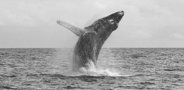 A single gulp could fill a couple of swimming pools. A whale then forces the water out of its mouth through the baleen filters.
