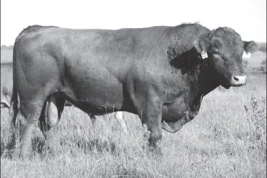 Born: // Defects: CTR Tomahawk N AMGV JRI Profit Agent N was the top bull in the calf crop.