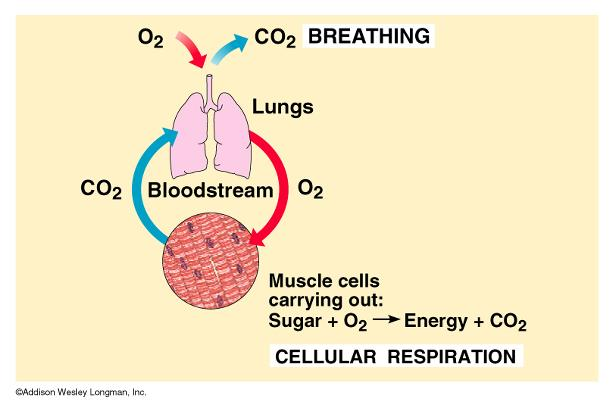 Review Cellular respiration: obtain glucose