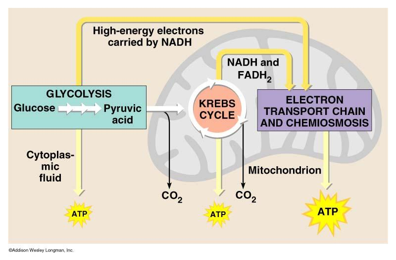 Review Cellular respiration: