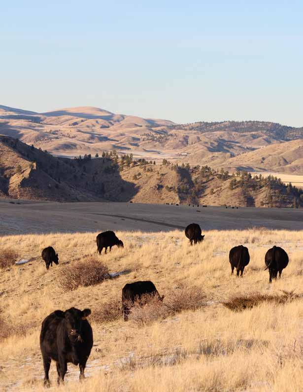 Wolf Creek, Montana Efficient Maternal Angus