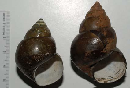 Mystery Snails Genus Bellamya Bellamya taxonomy and identification confusing - Bellamya japonica hasn t been