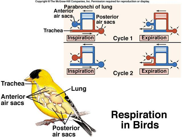 Bird lung (cast) Bird lung: parabronchi Birds