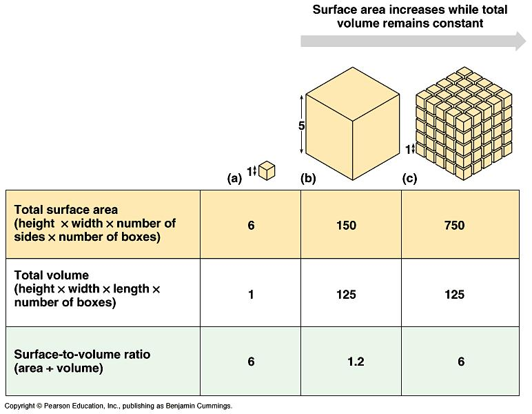 surface area/volume ratio Taking up oxygen v For very small organisms, diffusion is