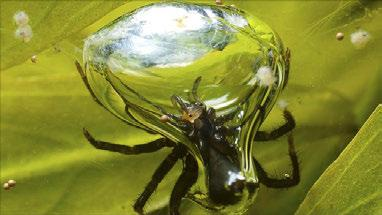 The diving bell spider Problems with breathing water v Osmoregulation (gain or loss of water