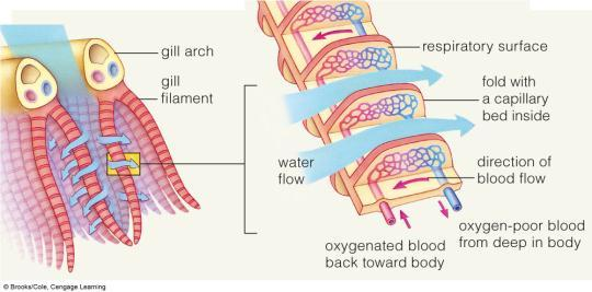 Vertebrate gills: Countercurrent Flow Fishes use gills to