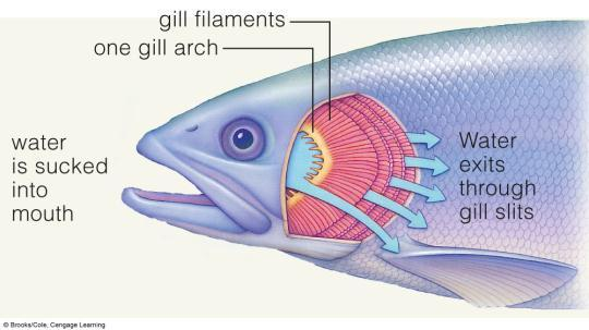 (blood flows through gills in opposite direction of water