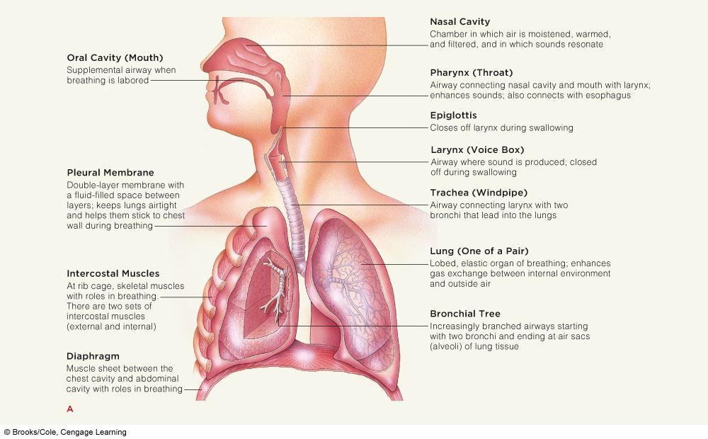 Air from posterior air sacs moves into lungs.