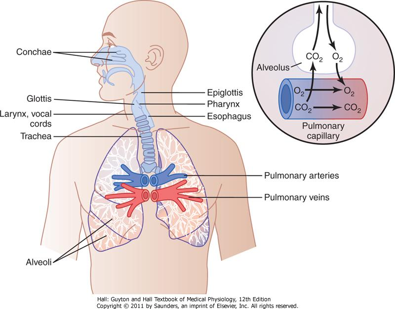 Figure 37-8 Respiratory passages.