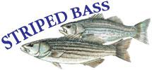 Striped Bass and White Hybrid (x) Striped Bass Management and Fishing in Pennsylvania Prepared by R. Lorantas, D. Kristine and C.