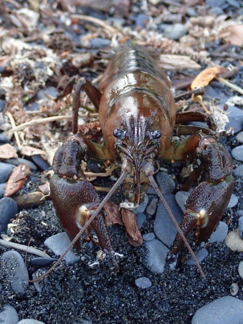 Signal Crayfish on Kodiak Island First noted presence in Buskin Watershed in 2002 Alaska Department of Fish & Game set traps in 2012-2013, did not