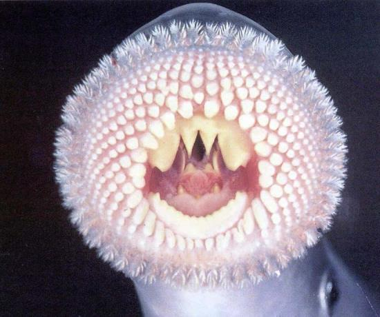 - Hagfish are scavengers.