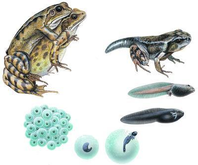 4) Class Amphibia (Combining Life Forms): Example: Frog, toad, salamander, newts - Smallest of all classes, only 4000 species.