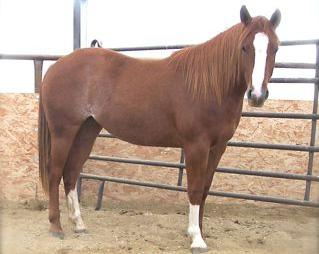 Savvy is a big shapey bay with good bone and a smooth way of traveling. Her Dam has her AQHA Arena ROM and was our daughters High School Rodeo horse. Savvy is quick and athletic.