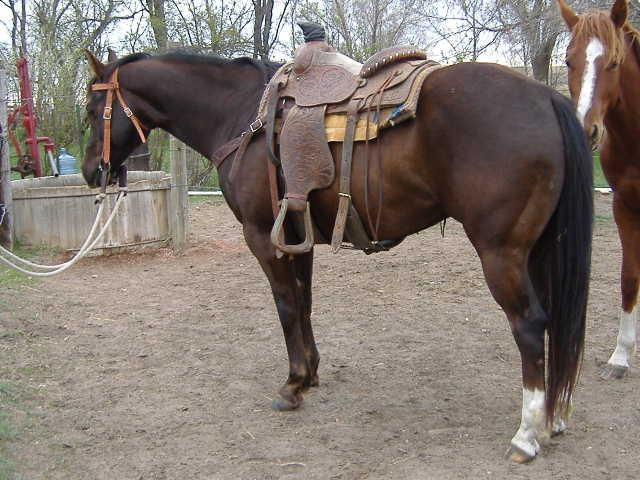 Velvet Cody Beat Velvet Comet Velvet Fawn She Wore Blue Velvet Leo Maudie Blue Ribbon Rose Diamond TL Lady Here is a big pretty muscled red dun. Started rope horse. Gentle natured. Used on Ranch.