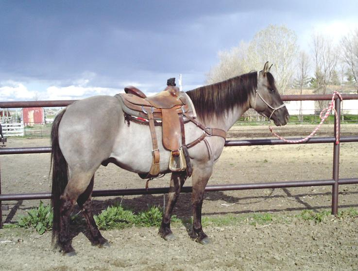 Her sire has his ROM in team roping and is used by his owners daily on the ranch. The mare is athletic and young and has been in cow horse training for two months.