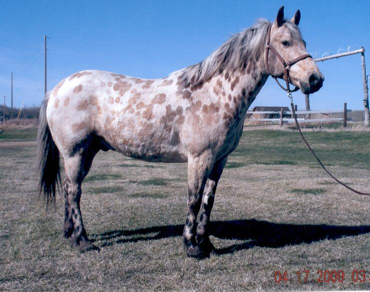 She is current on all of her vaccinations and worming. HIP 183 Bonnie 04 Grade QH/Pony Palomino Mare Linda Paulson Fairfax, SD This is a cute, cute pony. Huge hip and pretty little head.