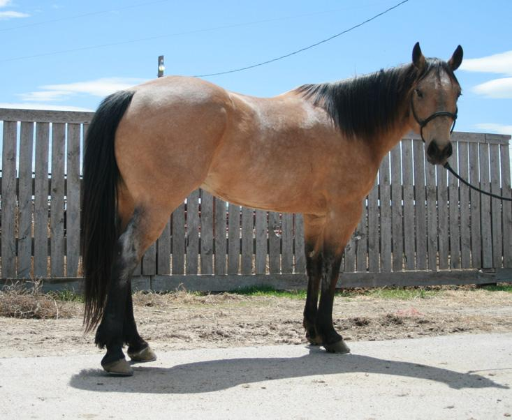 HIP 239 Cooter 91 Grade Bay Gelding Padlock Ranch Ranchester, WY Cooter will ride, sort, and work gates like an 8 year old. He is gentle, easy to be around and makes a great trail horse.