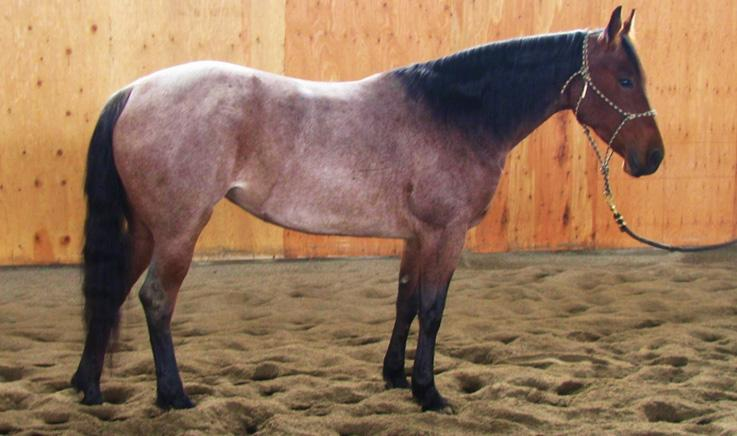 Moon Tyrees Watch Bar Beaus Watch Beau Bars Miss Beaus Whiz Bar Caballero Mujer Blue Lady Whiz Blue Whiz Lady Big and pretty. He s 15.2 hands and 1350 lbs. He s gentle to ride and will go all day.