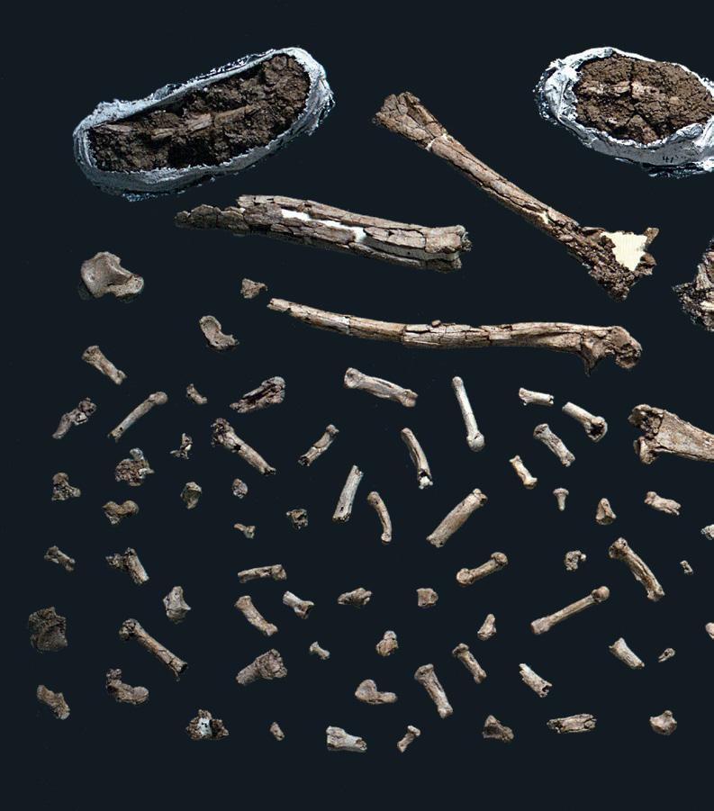 HUMAN EVOLUTION SHATTERED New fossil discoveries complicate the
