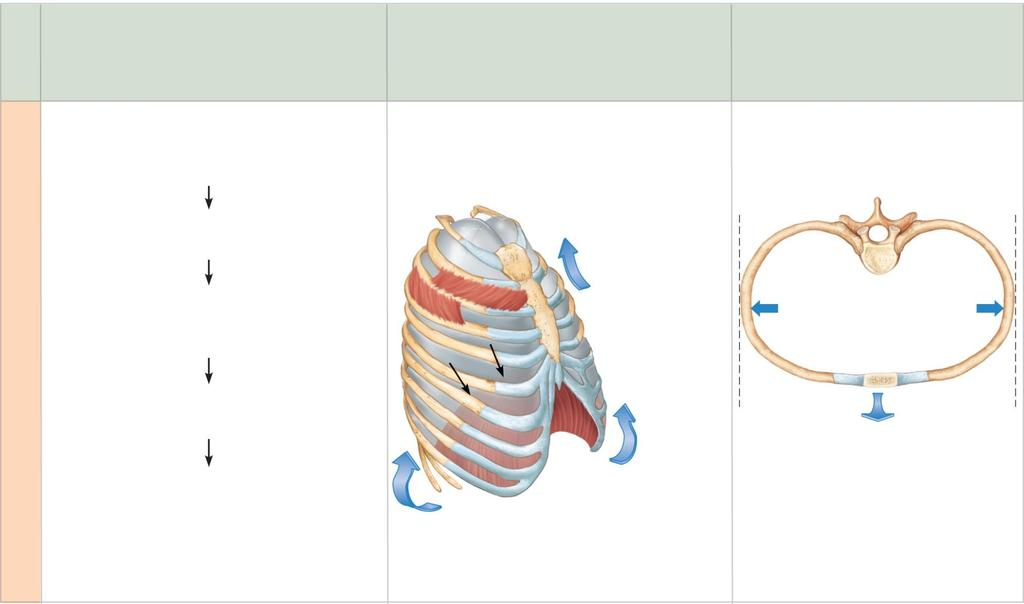 Sequence of events 1 Inspiratory muscles contract (diaphragm descends; rib cage rises). 2 Thoracic cavity volume increases. 3 Lungs are stretched; intrapulmonary volume increases.