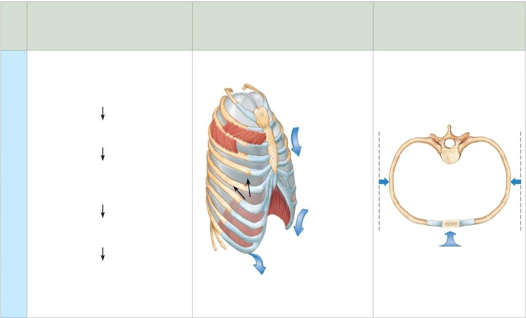 Sequence of events 1 Inspiratory muscles relax (diaphragm rises; rib cage descends due to recoil of costal cartilages). 2 Thoracic cavity volume decreases.