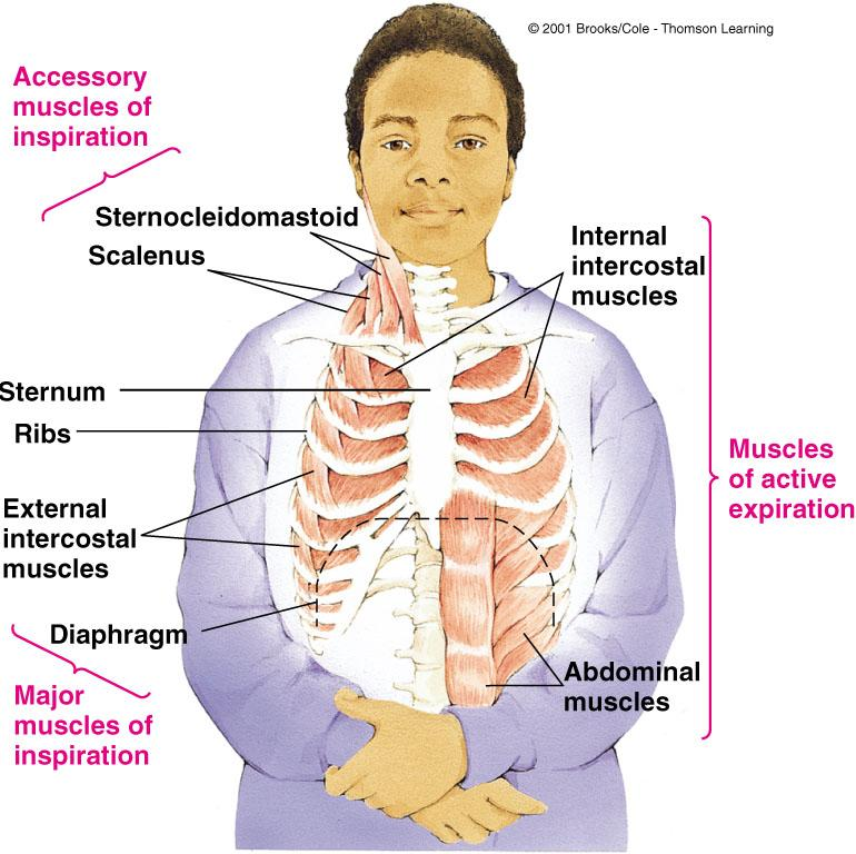 Accessory inspiratory muscles (rise the sternum and first two ribs) Inspiratory Muscles Inspiratory muscles generate volume changes in the thoracic cavity that allow the