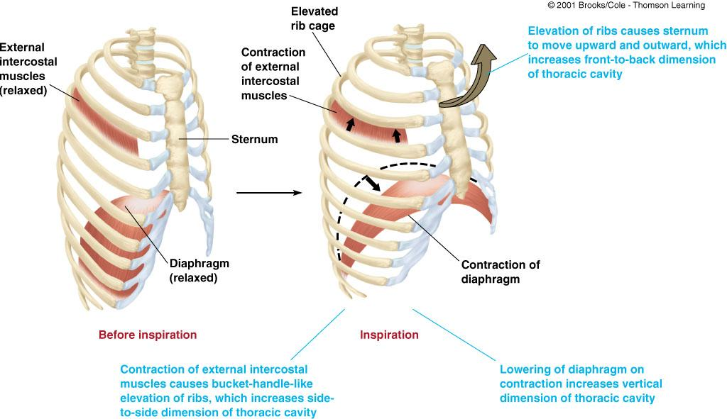 Respiratory Muscles Expansion of thoracic cavity reduce