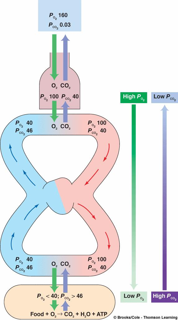 In the Tissues: Systemic Blood P CO2 is Lower Than Tissue P CO2 Atmospheric air Across pulmonary capillaries: O 2 partial pressure gradient from alveoli to blood = 60 mm Hg (100 > 40) O 2 partial