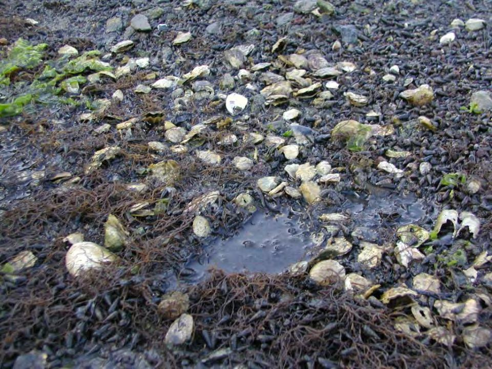 Mass die-offs of oysters occur in sites with