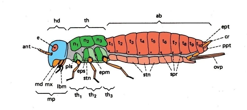 general larval body (Holometabola) head thorax abdomen T1 T2 T3 A1 A2