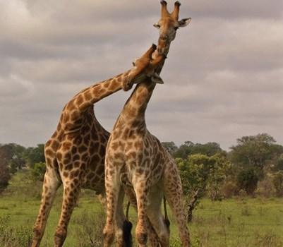 longer distances. A giraffe's neck is too short to reach the ground.