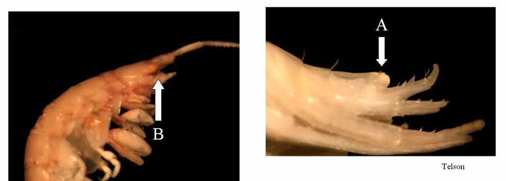Figure 11. Ericthonius brasiliensis A. Short telson; B. Eyes partially within lateral lobes of head. Ericthonius brasiliensis Dana, 1853 Distinguishing characteristics A. Short telson B.