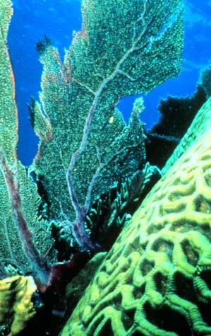 (Left) A sea fan (a soft coral); (right) a brain coral (a stony coral) Elkhorn coral branches out