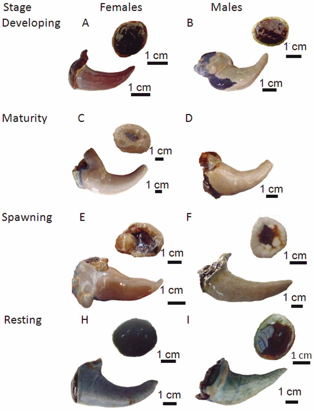 Fig. 5. Morphological features of the different stages of gonad maturation in Haliotis fulgens and H.