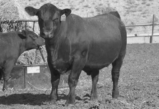 A large scrotal scale crusher. 3.0 53 97 19.40.36 Thistledew Cattle Company Our #1 Goal is to create enduring, long lasting, highly profitable, fun relationships.