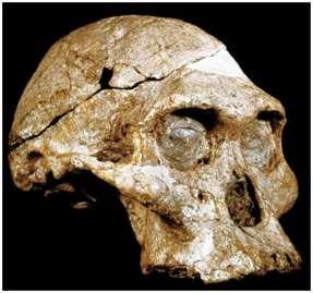 4. Australopithecus africanus (AKA Paranthropus africanus) 3.2-2.5 mya South Africa Robust Australopithecine Possibly gave rise to robustus Height, size similar to A.