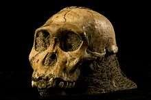 Australopithecus sediba Name means source Fairly new find 2008 South Africa- Malapa cave Two