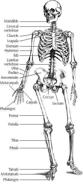The human skeleton is divided into two parts Axial Skeleton: skull, thoracic cage, vertebral
