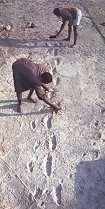 Near Olduvai Gorge in Northern Tanzania 59 footprints of bipedal hominins were found in a now hardened volcanic ash layer