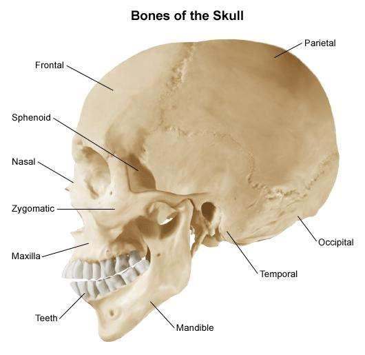 Skull: Limbs and