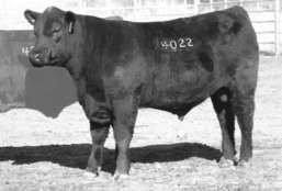 These bulls rank in the top three percent among non-parent bulls for Yearling Weight EPD from a donor dam who records a progeny IMF ratio of 114 on one head.