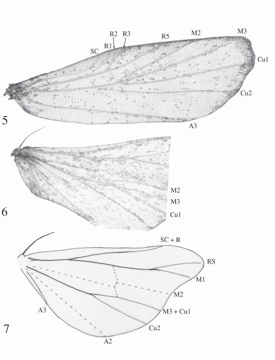 Figs. 5 7. Wing venation of Strepsimanidae and Micronoctuidae. 5. Forewing venation of Strepsimanidae (Strepsimanidae: Strepsimanes). 6.
