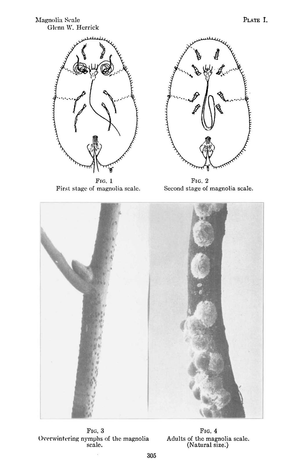 Mag-nolia Seale GIl'nn \Y. Herrick PLATE 1. FIG. 1 Fir~t stag-e of mag-nolia scale. FIG. 2 Second stag-e of magnolia scale.