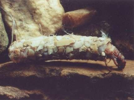 Caddisfly Larvae Up to 1/2 in