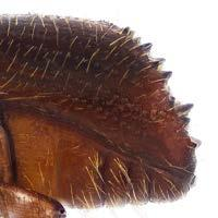 22 Xyleborus glabratus declivity, lateral view (target). Fig.