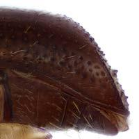 24: Xyleborus celsus declivity, lateral view. Fig.