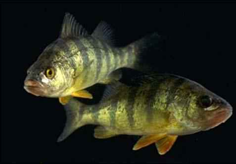 Impacts on Fishes: Ecological Surprises?